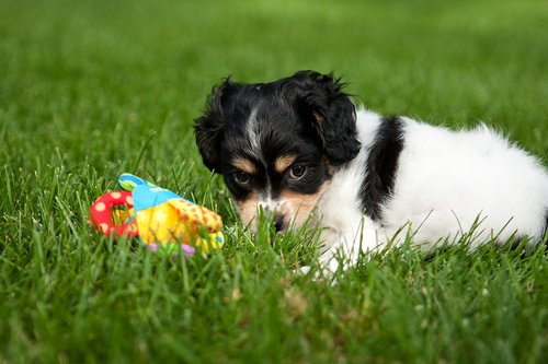 TC-Cavashon Puppy-D40120-00017.jpg