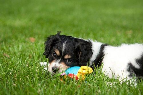 TC-Cavashon Puppy-D40120-00029.jpg
