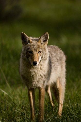 TC-Coyote-D00165-00007.jpg