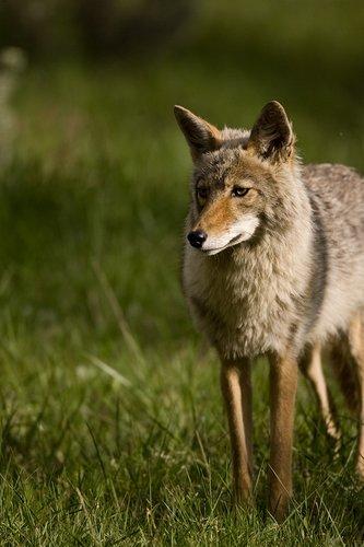 TC-Coyote-D00165-00008.jpg
