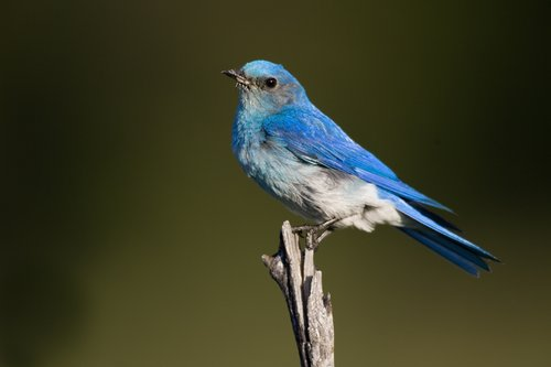 TC-Mountain Bluebird-D00070-00001.jpg
