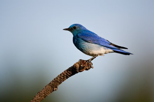 TC-Mountain Bluebird-D00070-00008.jpg