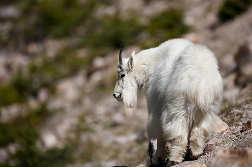 TC-Mountain Goats-D00357-00059.jpg
