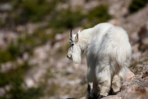 TC-Mountain Goats-D00357-00061.jpg
