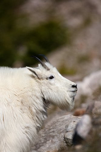 TC-Mountain Goats-D00357-00067.jpg