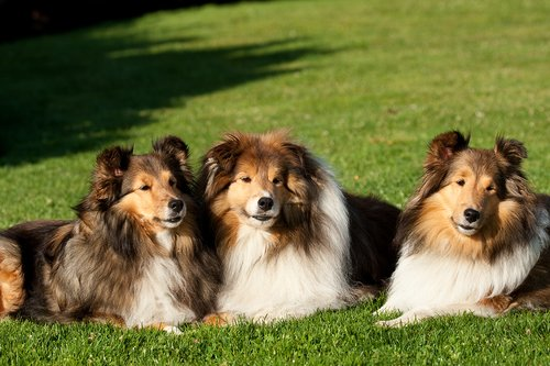 TC-Shelties-D40225-00003.jpg