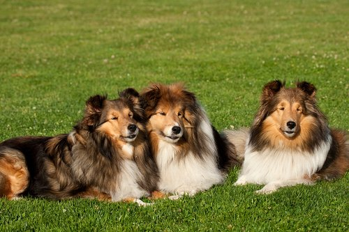 TC-Shelties-D40225-00005.jpg