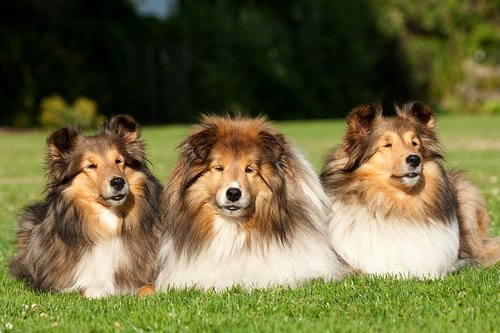 TC-Shelties-D40225-00013.jpg