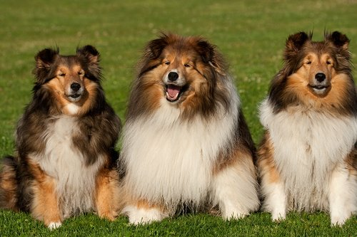 TC-Shelties-D40225-00024.jpg