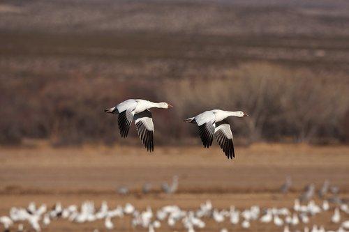 TC-Snow Geese-D00373-00465.jpg