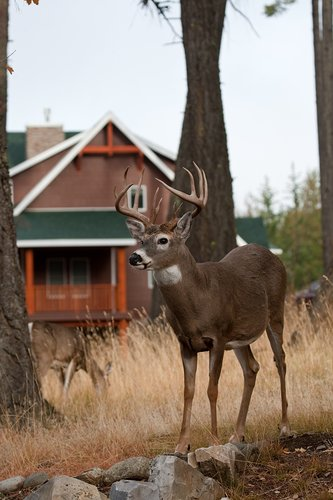 TC-Urban Whitetails-D01085-00003.jpg