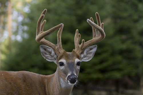 TC-Whitetail Bucks Velvet-D01087-00015.jpg