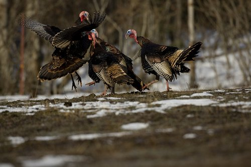 TC-Wild Turkey Fighting-D00981-00002.jpg