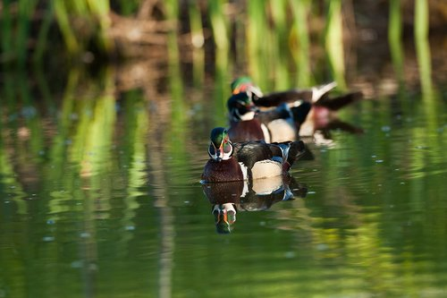 TC-Wood Ducks-D00222-00006.jpg