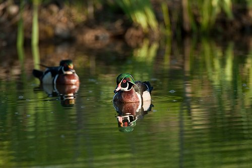 TC-Wood Ducks-D00222-00008.jpg