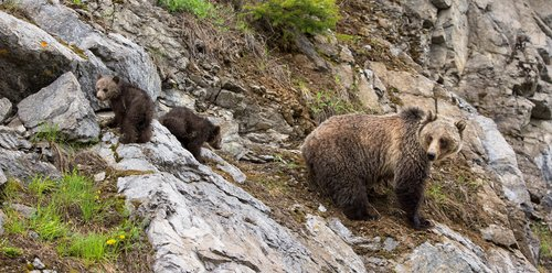 TC-Grizzly Sow Cubs-D00054-00037.jpg