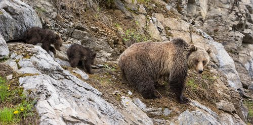 TC-Grizzly Sow Cubs-D00054-00048.jpg