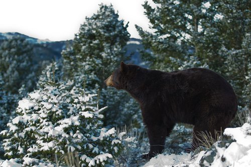 TC-Black Bear Snow-D00047-00012.jpg