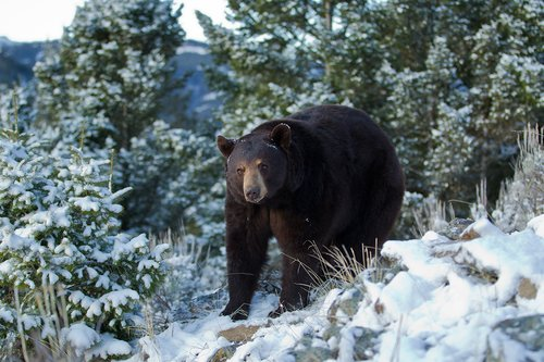 black bears in snow tim christie outdoor writer. Black Bedroom Furniture Sets. Home Design Ideas