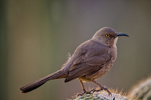 TC-Curve-billed Thrasher-D00830-00001.jpg