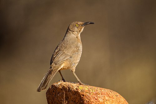TC-Curve-billed Thrasher-D00830-00003.jpg
