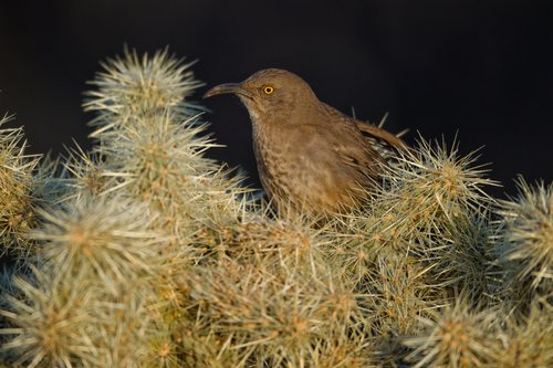 TC-Curve-billed Thrasher-D00830-00006.jpg