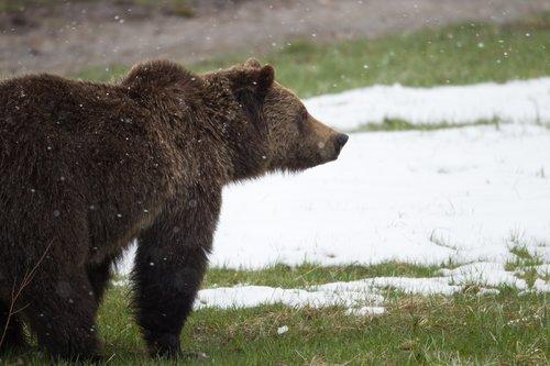 TC-Grizzly Bear Spring-D00053-00002.jpg