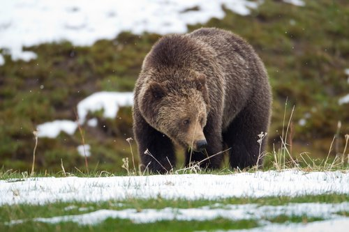 TC-Grizzly Bear Spring-D00053-00013.jpg