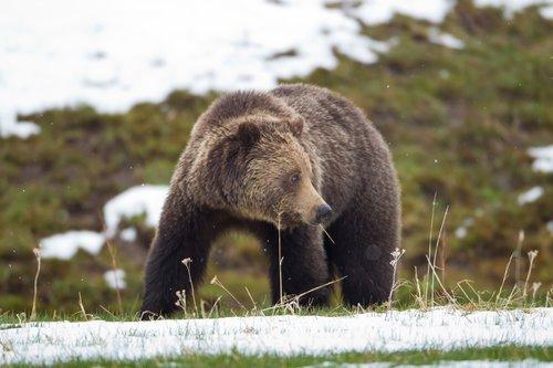 TC-Grizzly Bear Spring-D00053-00021.jpg