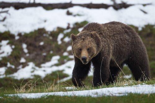 TC-Grizzly Bear Spring-D00053-00029.jpg