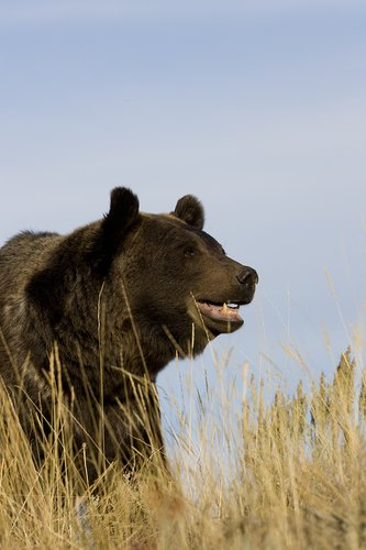 TC-Grizzly Bear-D00051-00002.jpg