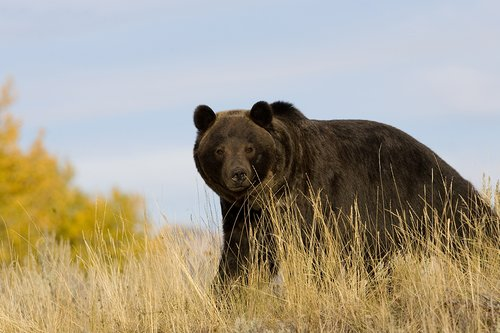 TC-Grizzly Bear-D00051-00007.jpg