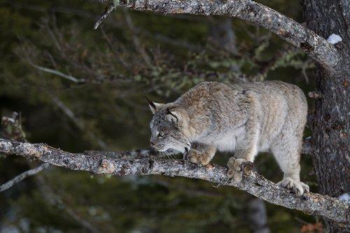 TC-Lynx-Snow-D00590-00033.jpg
