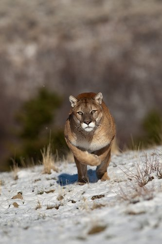 TC-Mountain Lion-Snow-D00578-00003.jpg