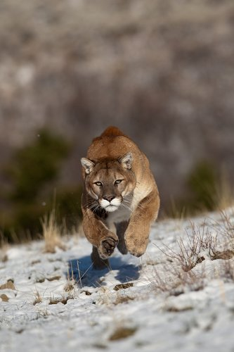 TC-Mountain Lion-Snow-D00578-00004.jpg