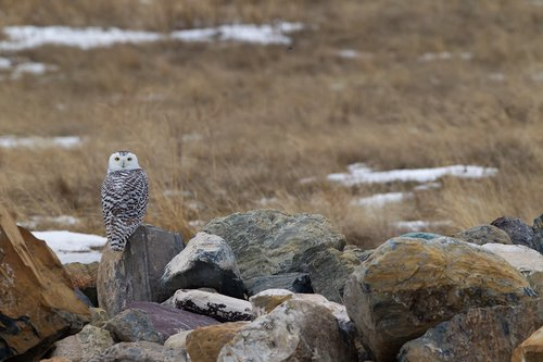 TC-Snowy Owls-D00700-00004.jpg