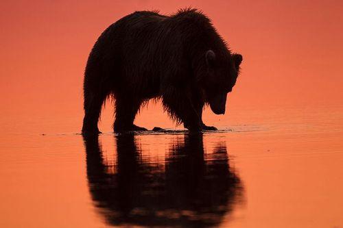 TC-Alaska Brown Bears-D00055-000001.jpg