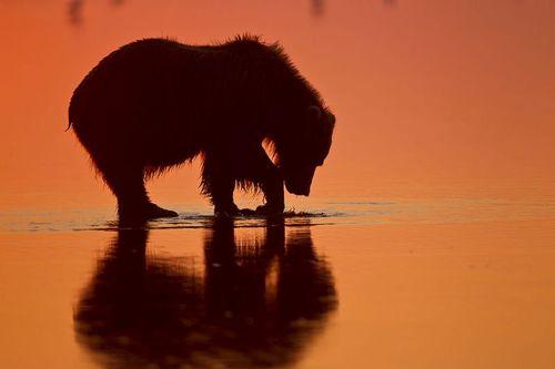 TC-Alaska Brown Bears-D00055-000009.jpg