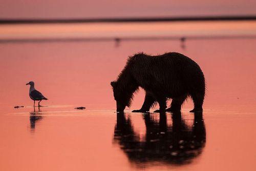TC-Alaska Brown Bears-D00055-000027.jpg