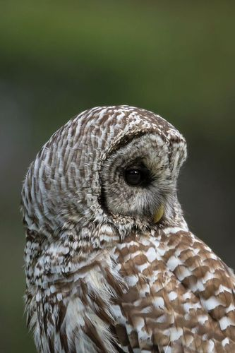 TC-Barred Owl-D00854-00024.jpg
