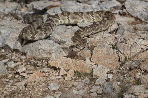 TC-Black-tailed Rattlesnake-D50010-000001.jpg
