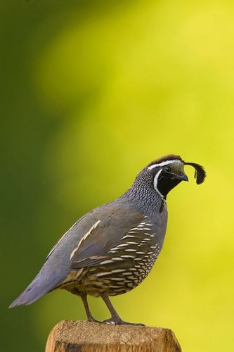 TC-California Quail-D00771-00543.jpg