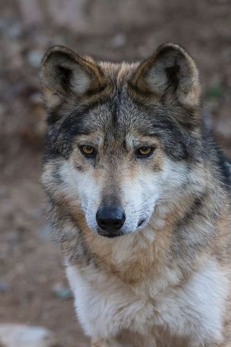 TC-Mexican Wolf-D01063-00008.jpg