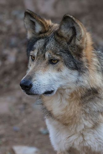 TC-Mexican Wolf-D01063-00012.jpg