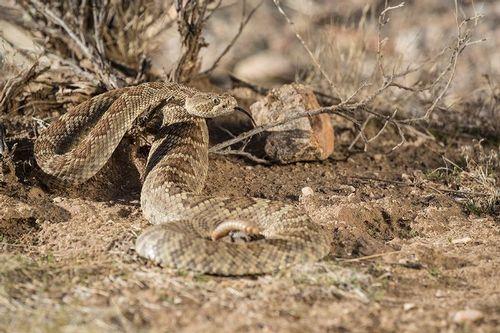 TC-Mojave Rattlesnake-D50020-000009.jpg