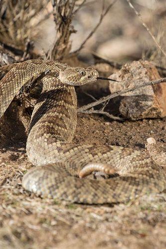 TC-Mojave Rattlesnake-D50020-000014.jpg
