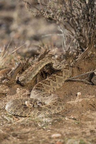 TC-Mojave Rattlesnake-D50020-000021.jpg