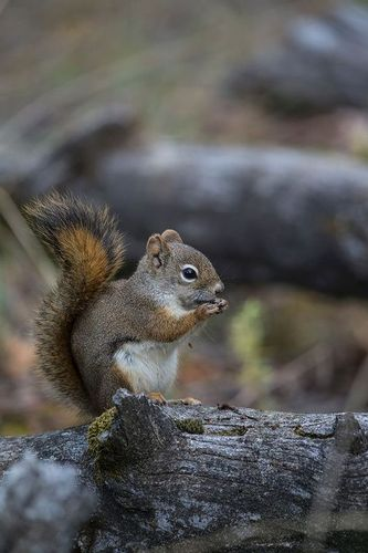 TC-Red Tree Squirrel-D00627-00028.jpg