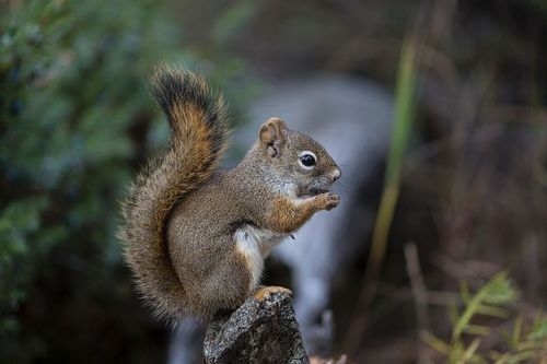 TC-Red Tree Squirrel-D00627-00037.jpg