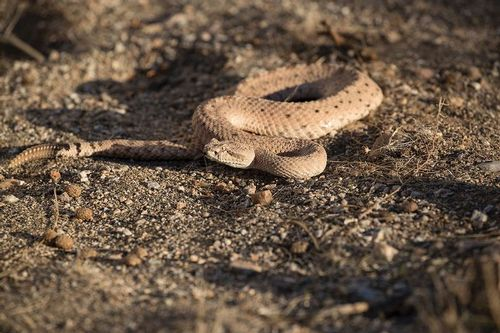 TC-Sidewinder Rattlesnake-D50040-000001.jpg